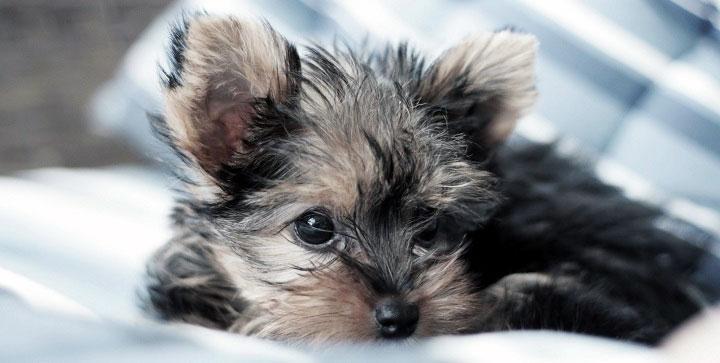 фото собаки йоркширский терьер
