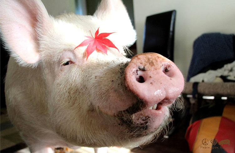 фотографии свиней