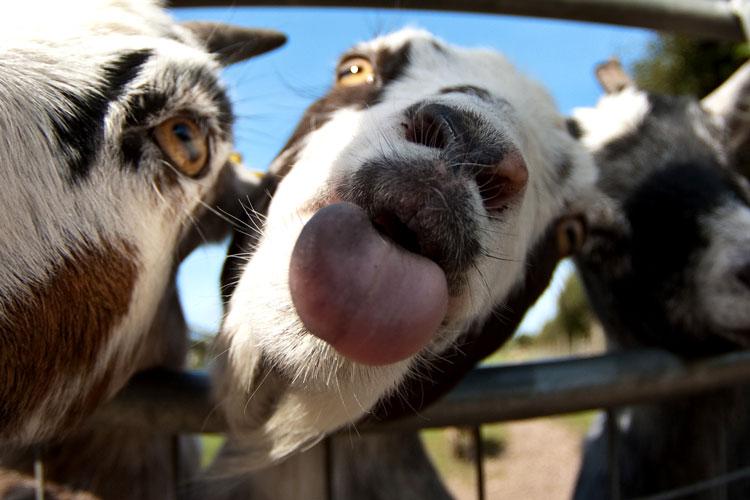 год козы приколы