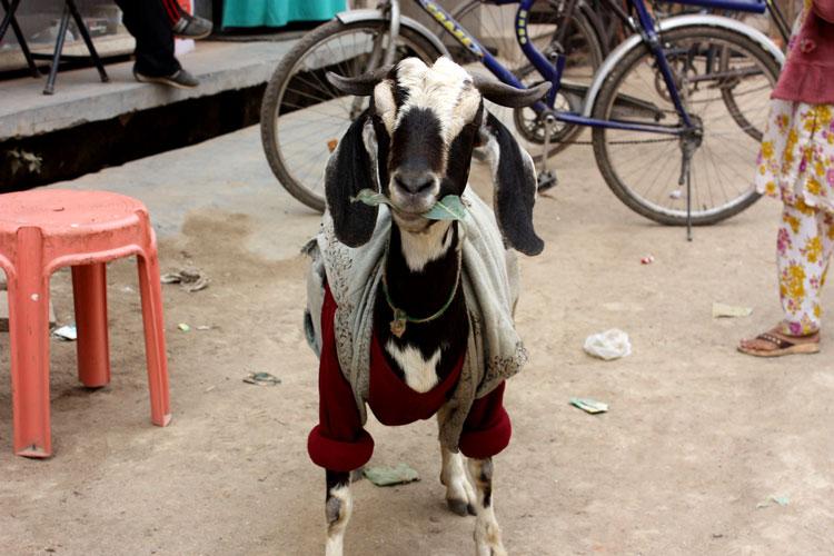 год овцы козла