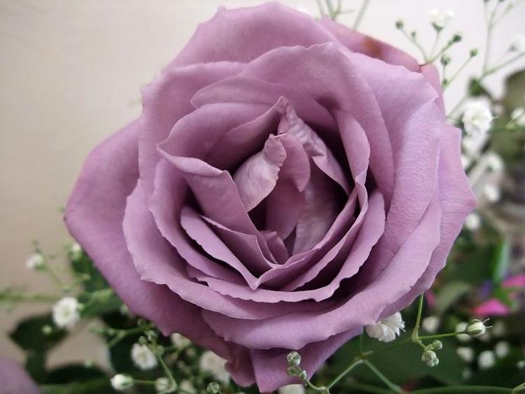 голубы розы фото