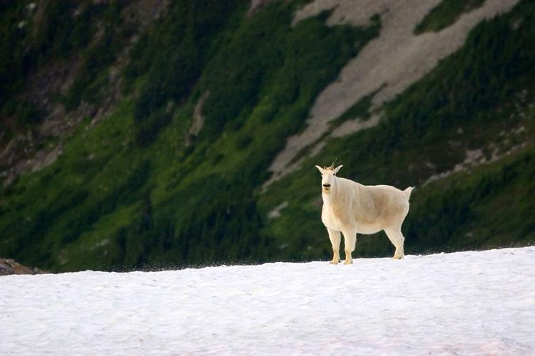 горный козёл фото