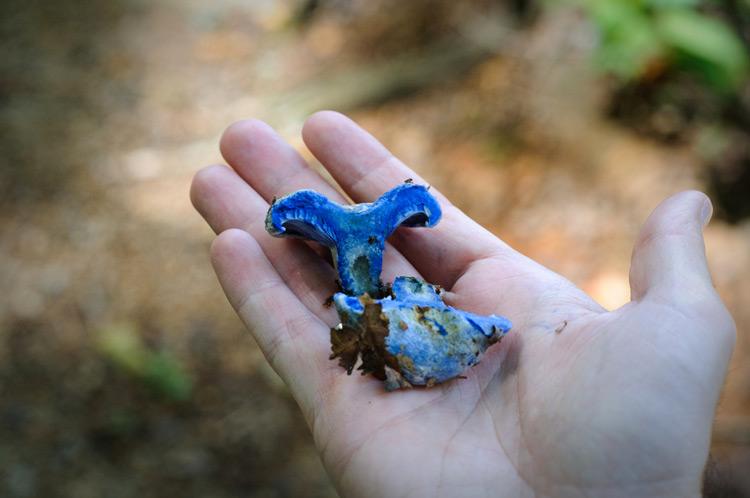 гриб млечник голубой