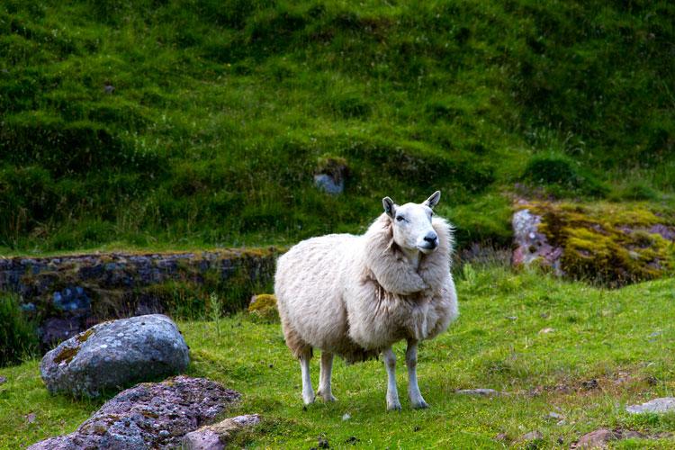изображение овцы