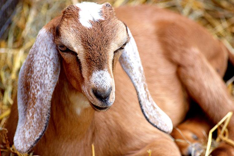 изображение овцы козы