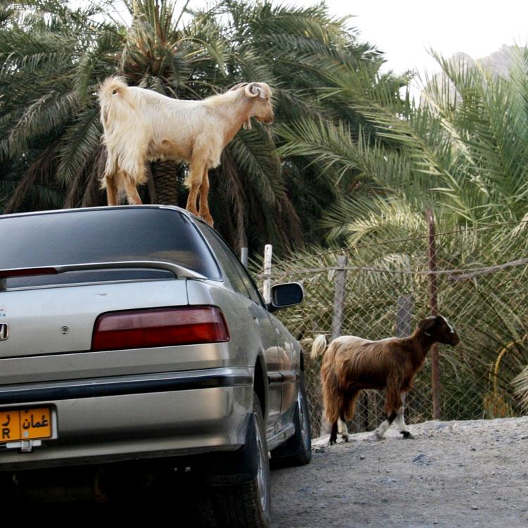 картинки коза ягнёнок