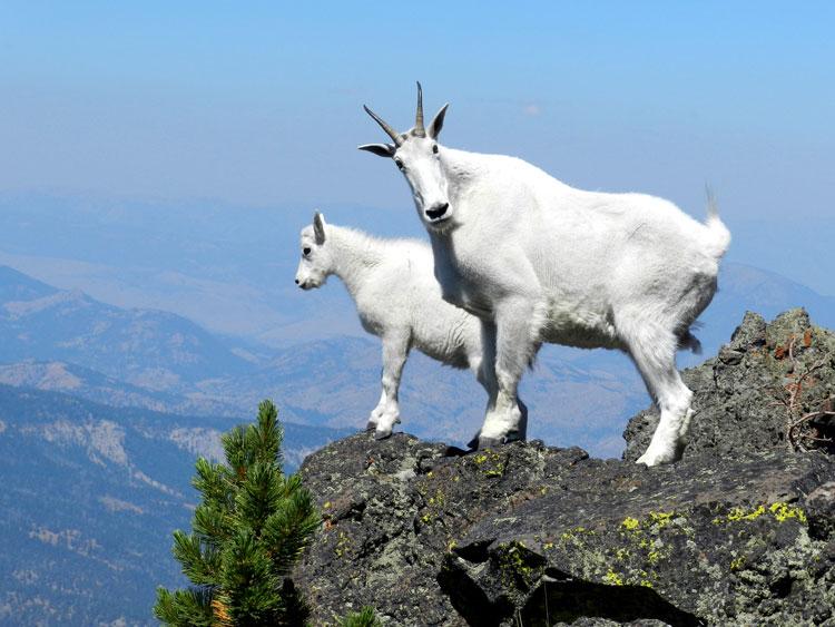 картинки горный козёл