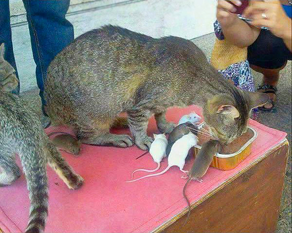 кошка и мыши картинки