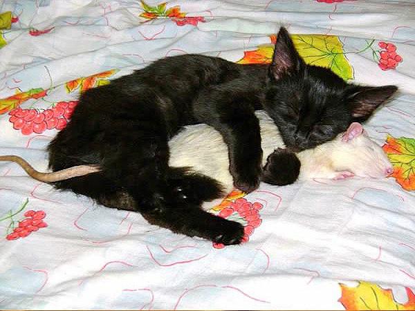 кот любит мышь