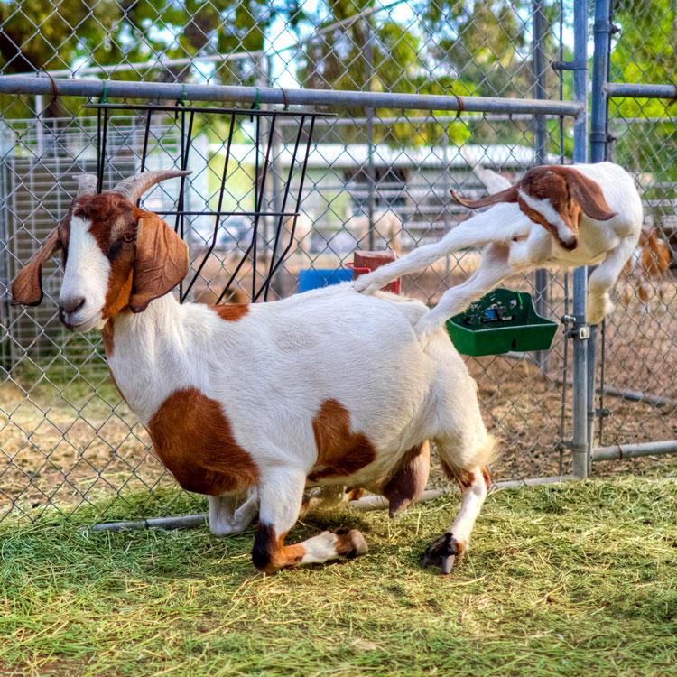 коза козочка