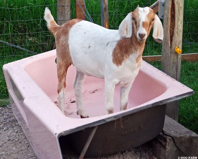коза символ нового года