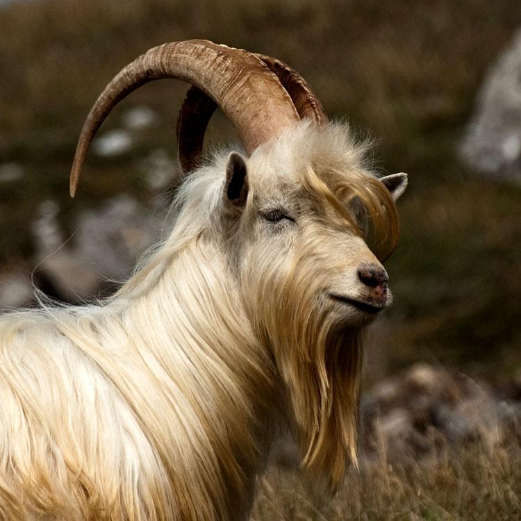 красивые картинки год козы