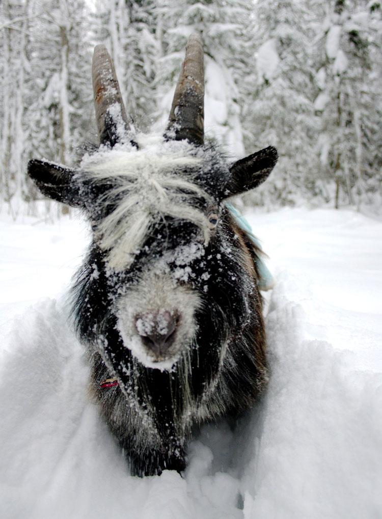 красивые картинки козы