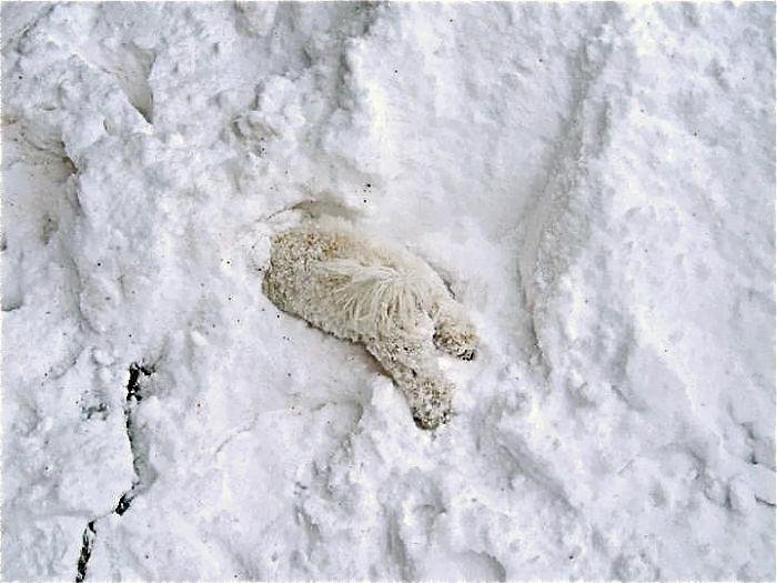 медведь в снегу