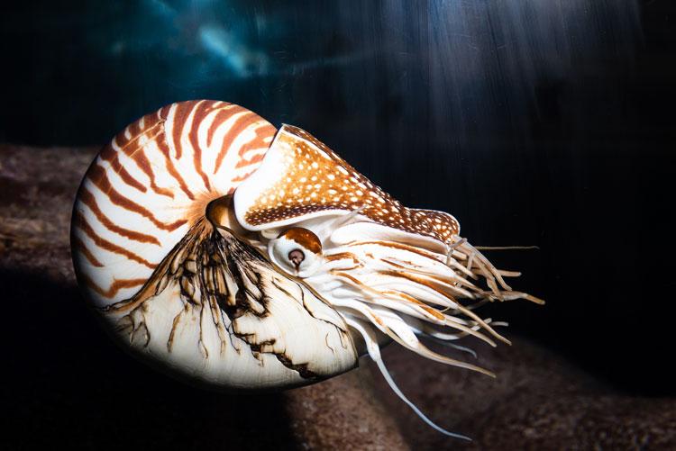 моллюск наутилус