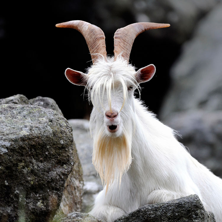 морда козы