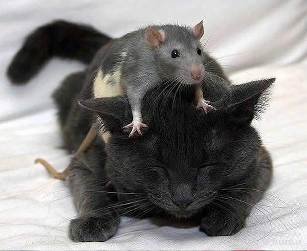 мыши и чёрный кот