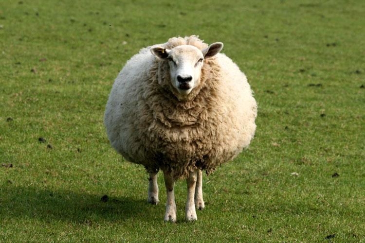новый год овцы 2015 картинки