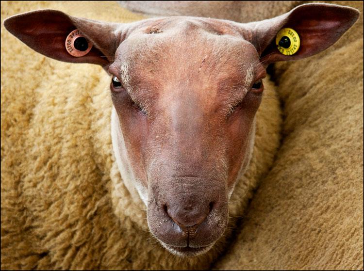 овца картинки прикольные