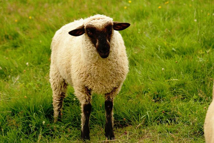 овца красивая