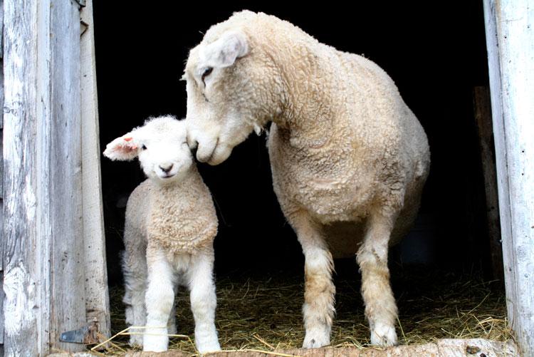 овца овечка