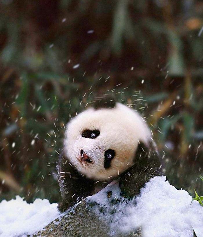 панда снег