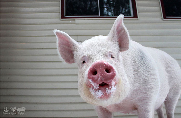 прикольная свинья