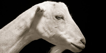 рогатый скот фото