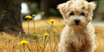 самые маленькие собаки мира фото