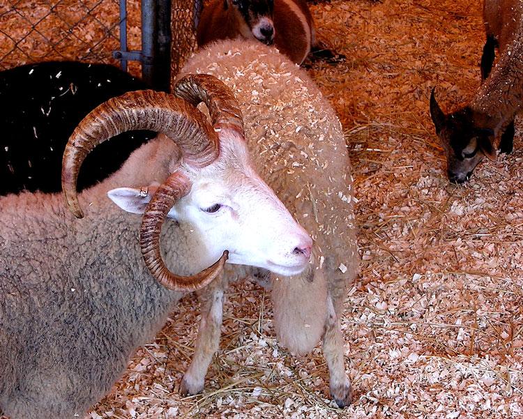 символ года коза овца