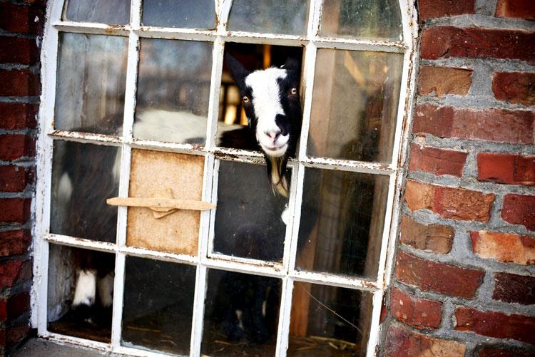 скачать картинку козы