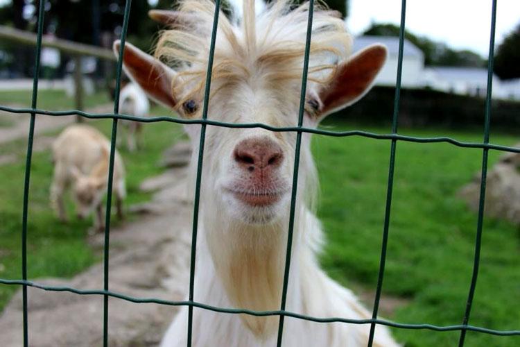 смешные козы картинки