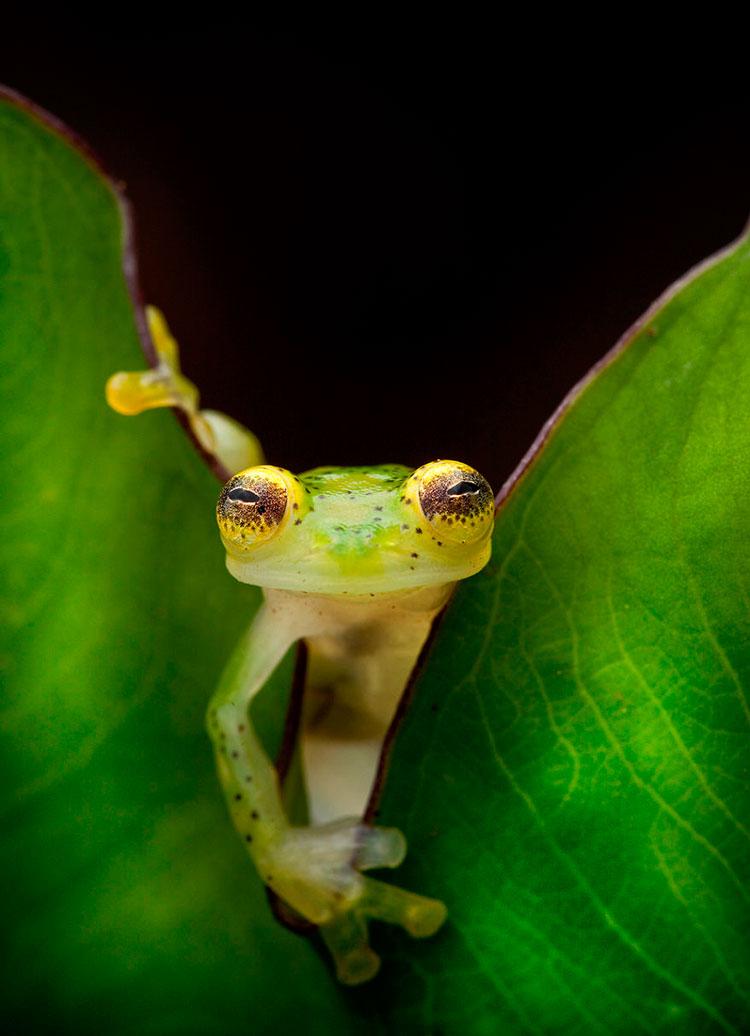 стеклянная лягушка фото
