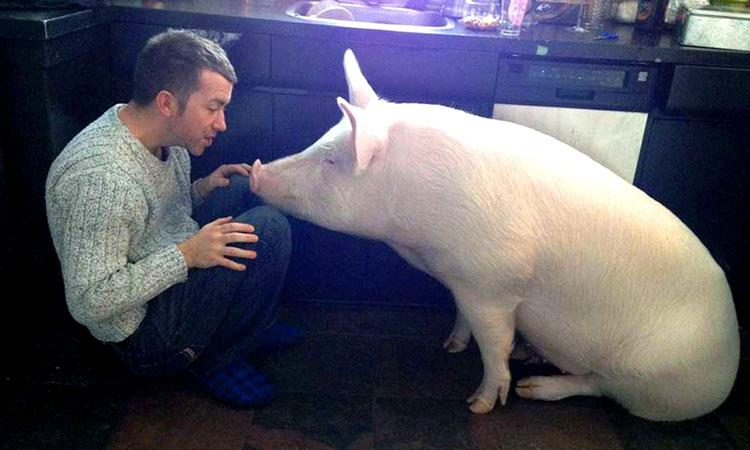 свиньи домашние животные