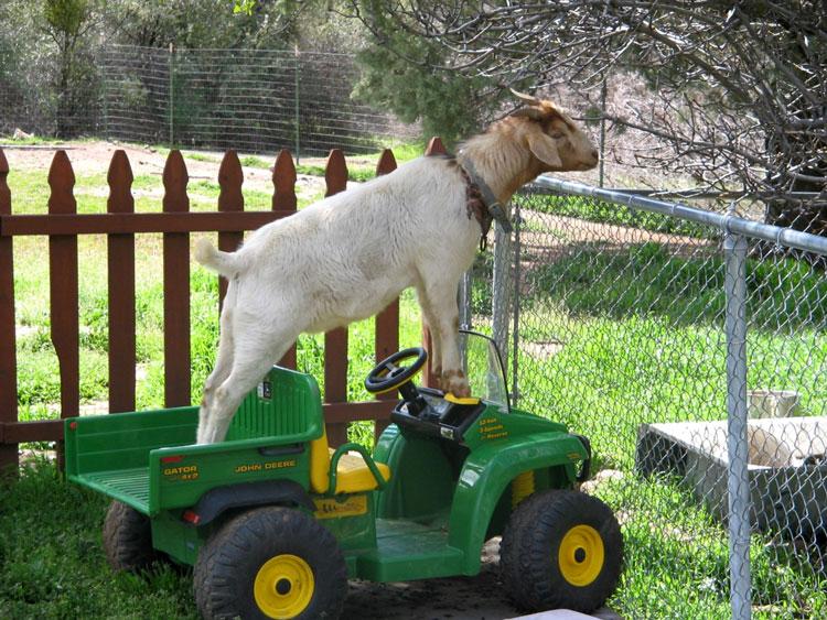 весёлая коза