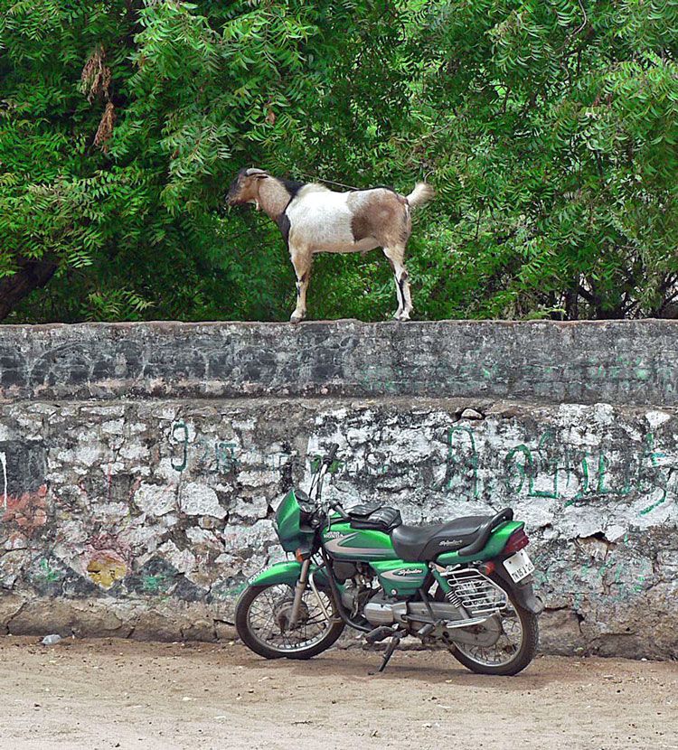 весёлая коза картинки