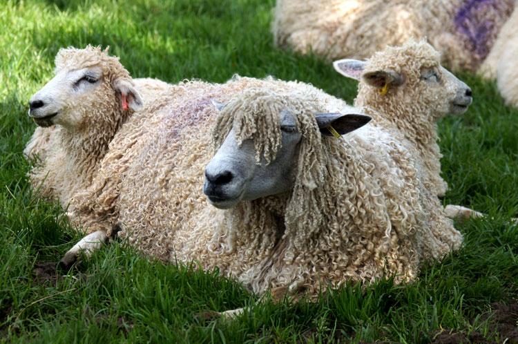 весёлая овца