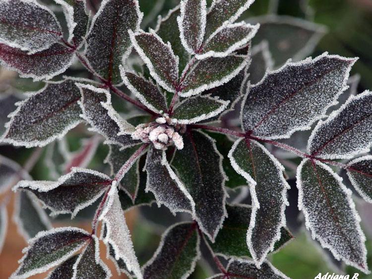 замёрзшие листья