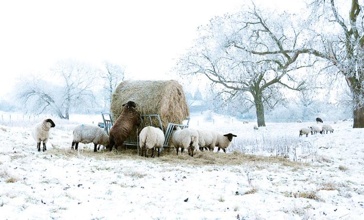 животные козы и овцы