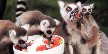 лемуры едят