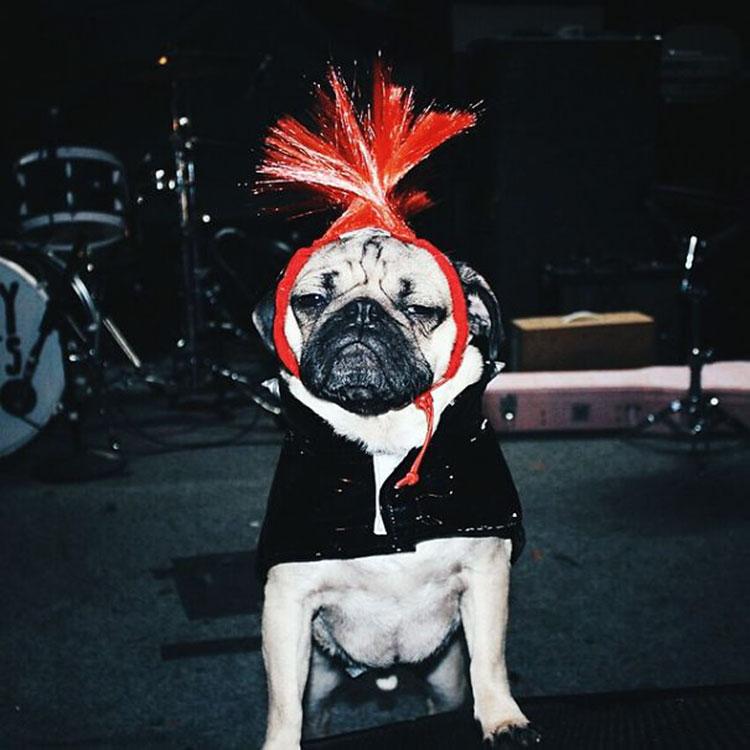 собаки породы мопс фото
