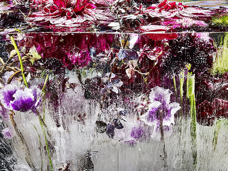 замороженные цветы фото