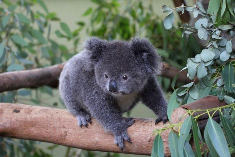 австралийская коала