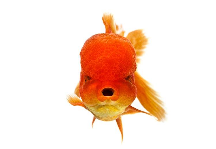 декоративные рыбки для аквариума