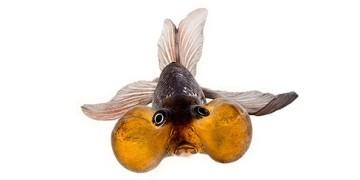 какие бывают аквариумные рыбки