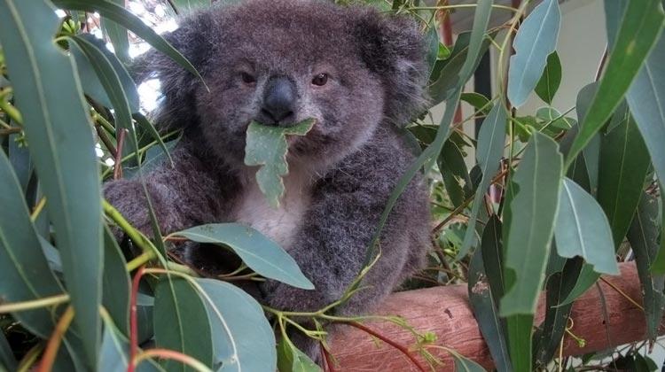 коала животное
