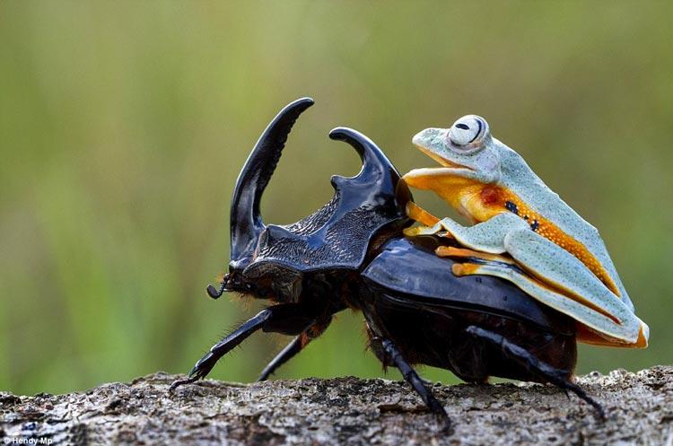 лягушка наездница