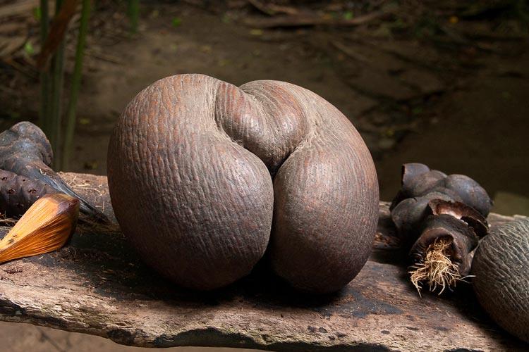 плоды пальмы фото