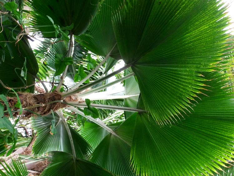 тропическая пальма
