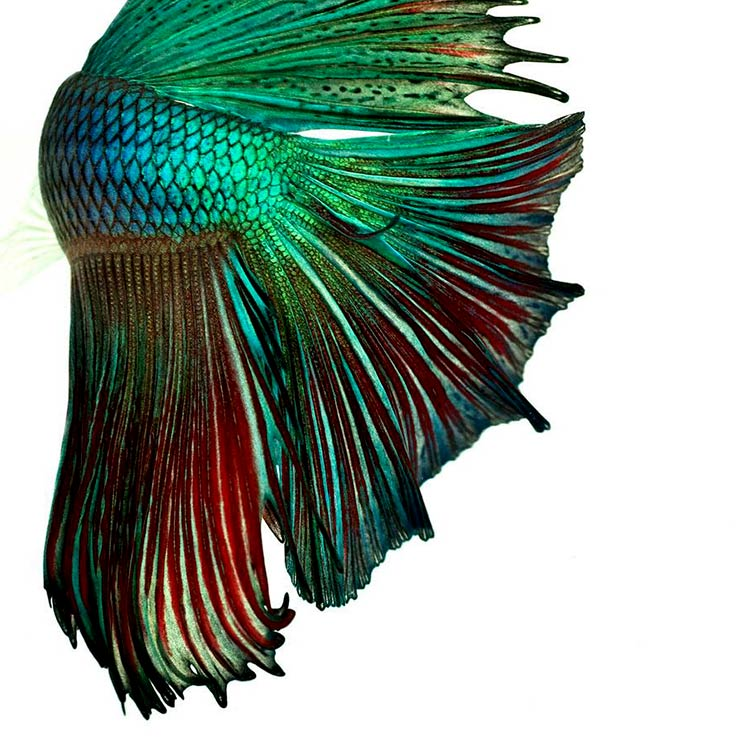 хвост рыбы картинки